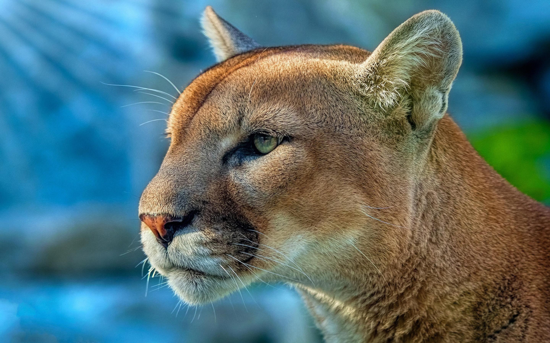 2880x1800 cougar 4k macbook pro retina hd 4k wallpapers, images