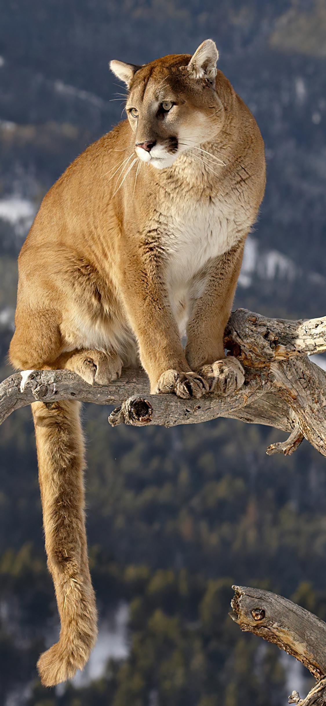 cougar-on-a-branch-4k-ie.jpg