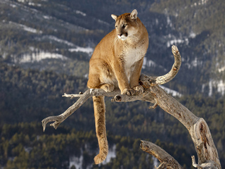 cougar-on-a-branch-4k-ie.jpg