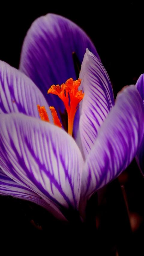crocus-flower-np.jpg