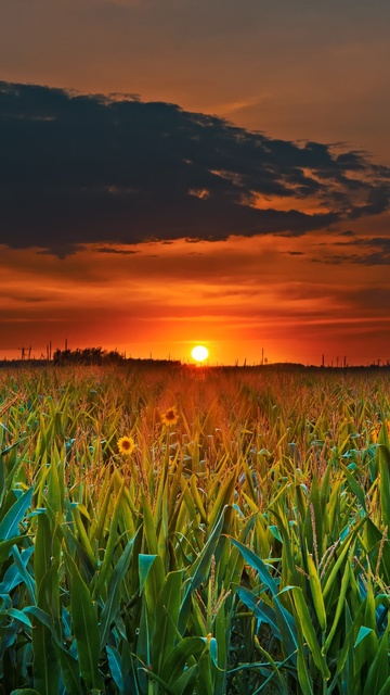 crop-field-sunset-5x.jpg