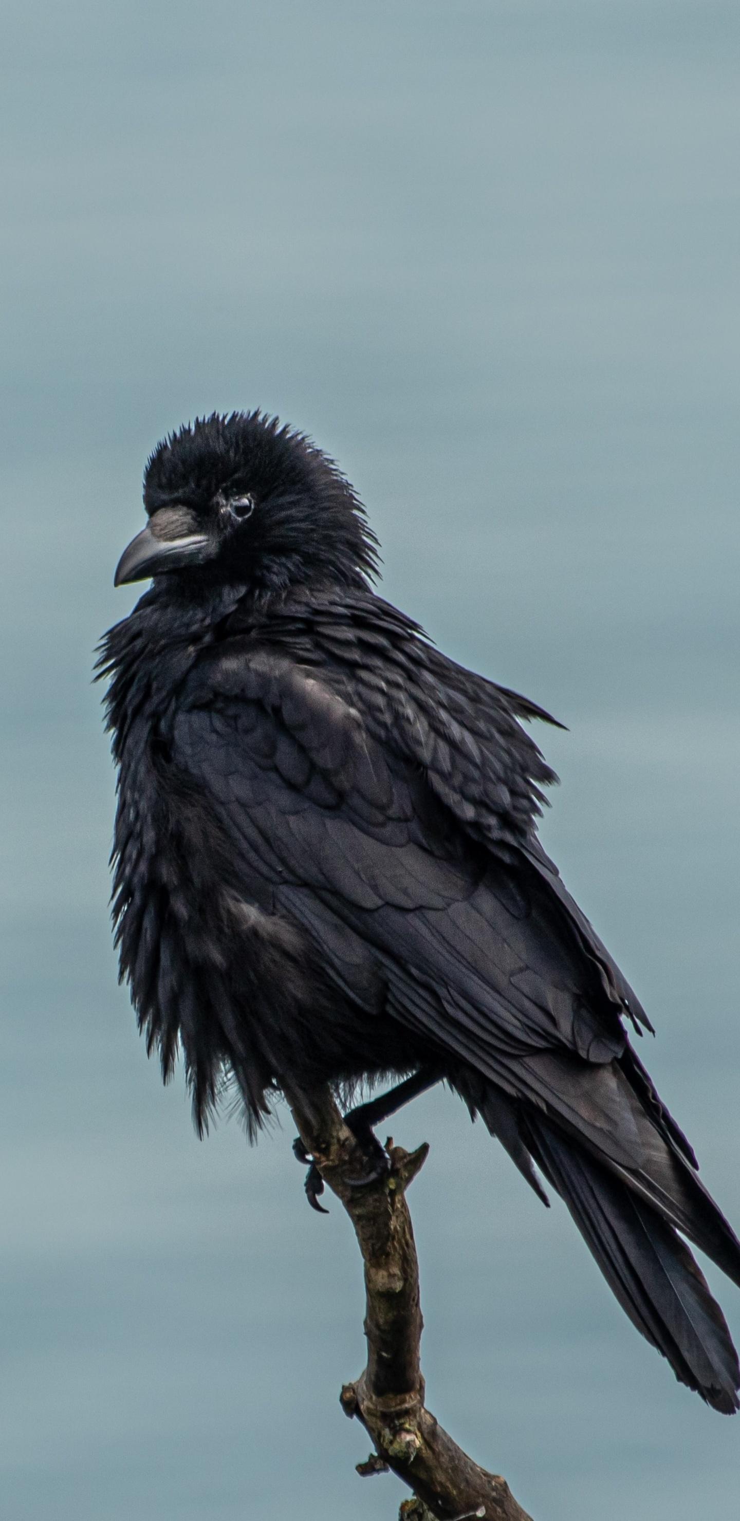 crow-4k-ti.jpg