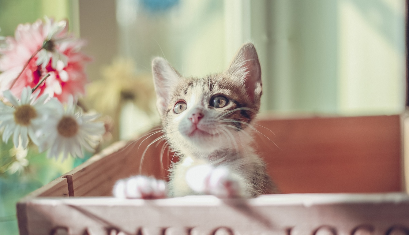 1336x768 Cute Cat Kitty Laptop Hd Hd 4k Wallpapers Images Backgrounds Photos And Pictures