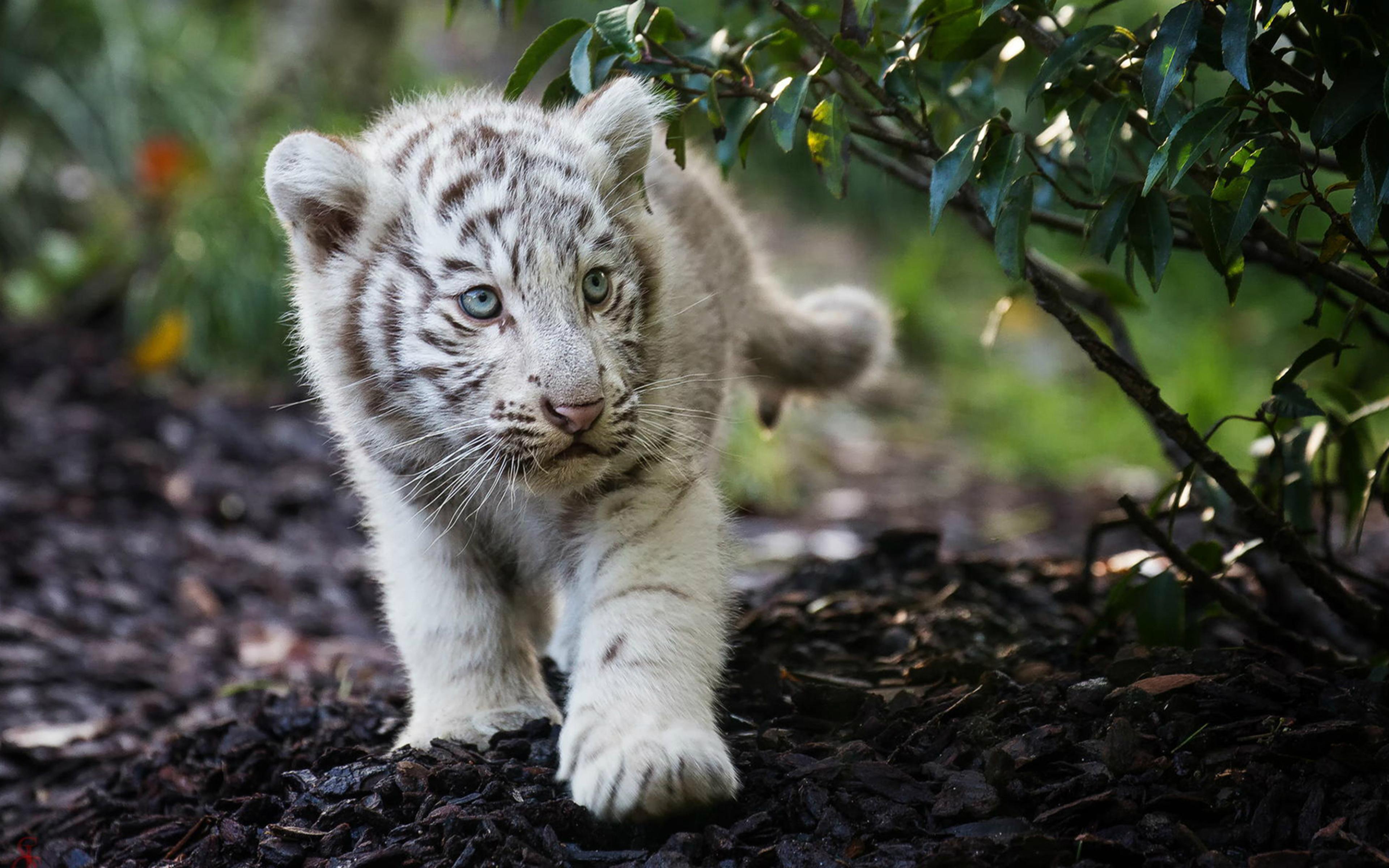 cute-cub-bengal-white-tiger-h2.jpg