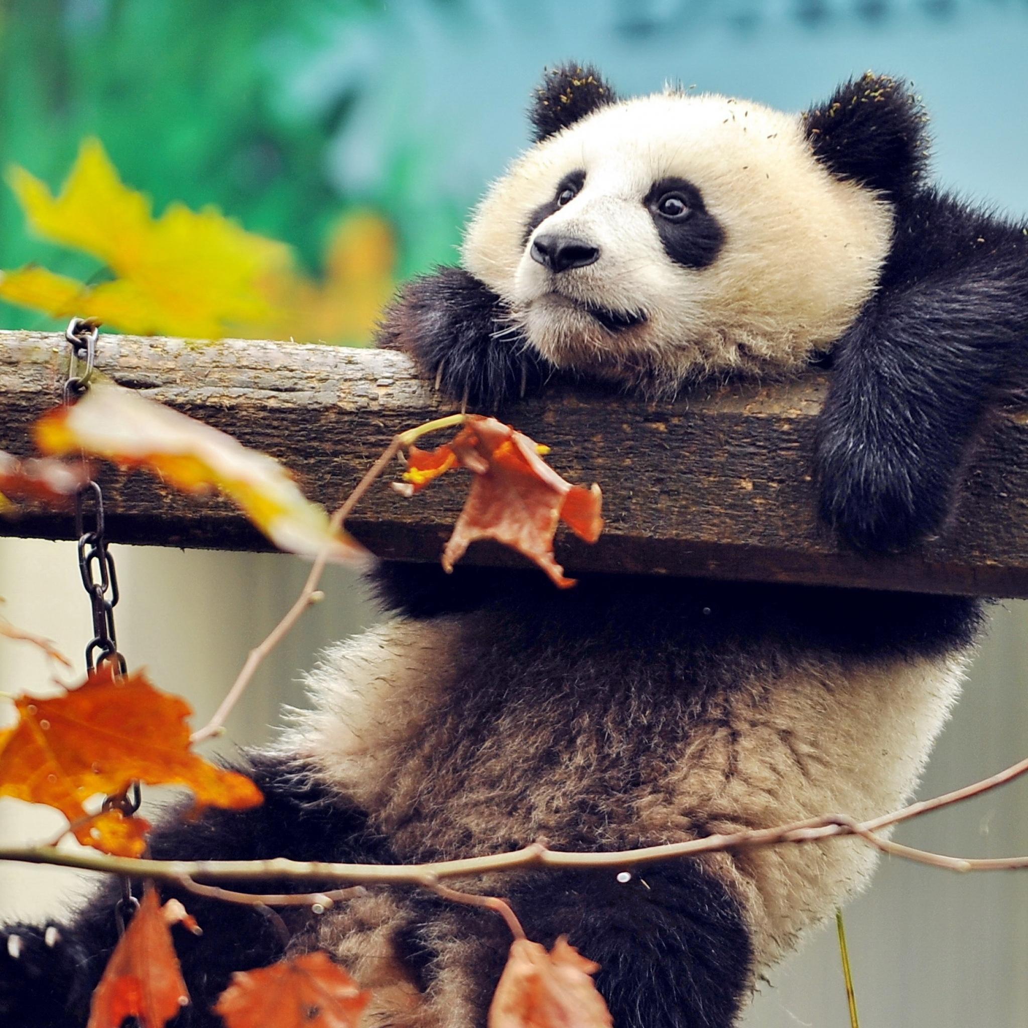 2048x2048 Cute Panda Ipad Air HD 4k Wallpapers Images Backgrounds