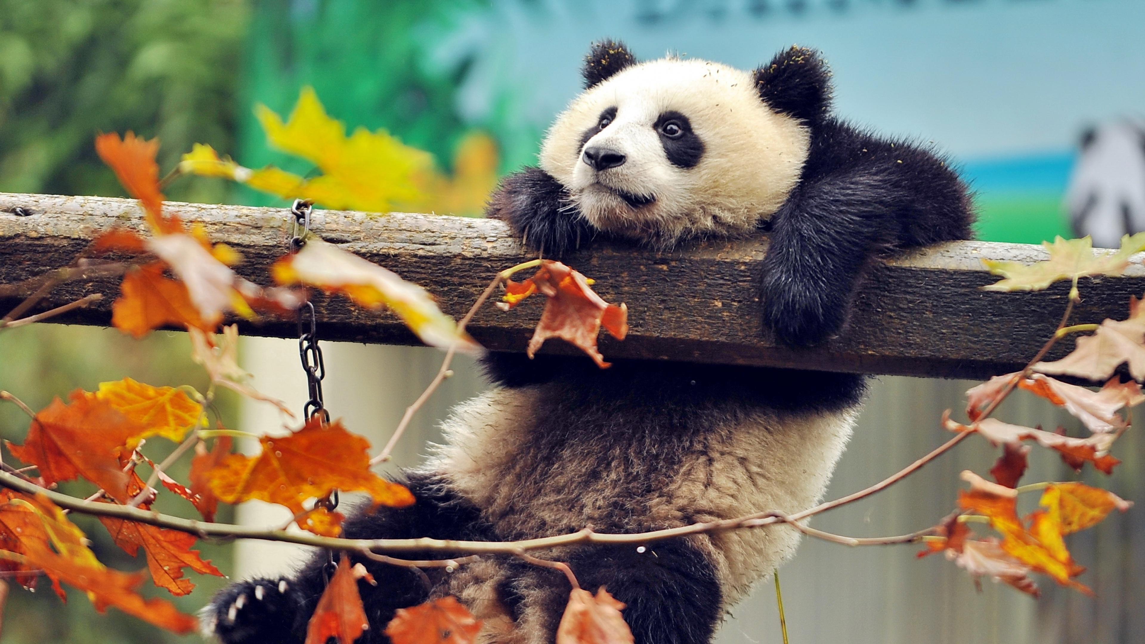 миленькие панды  № 3356356  скачать