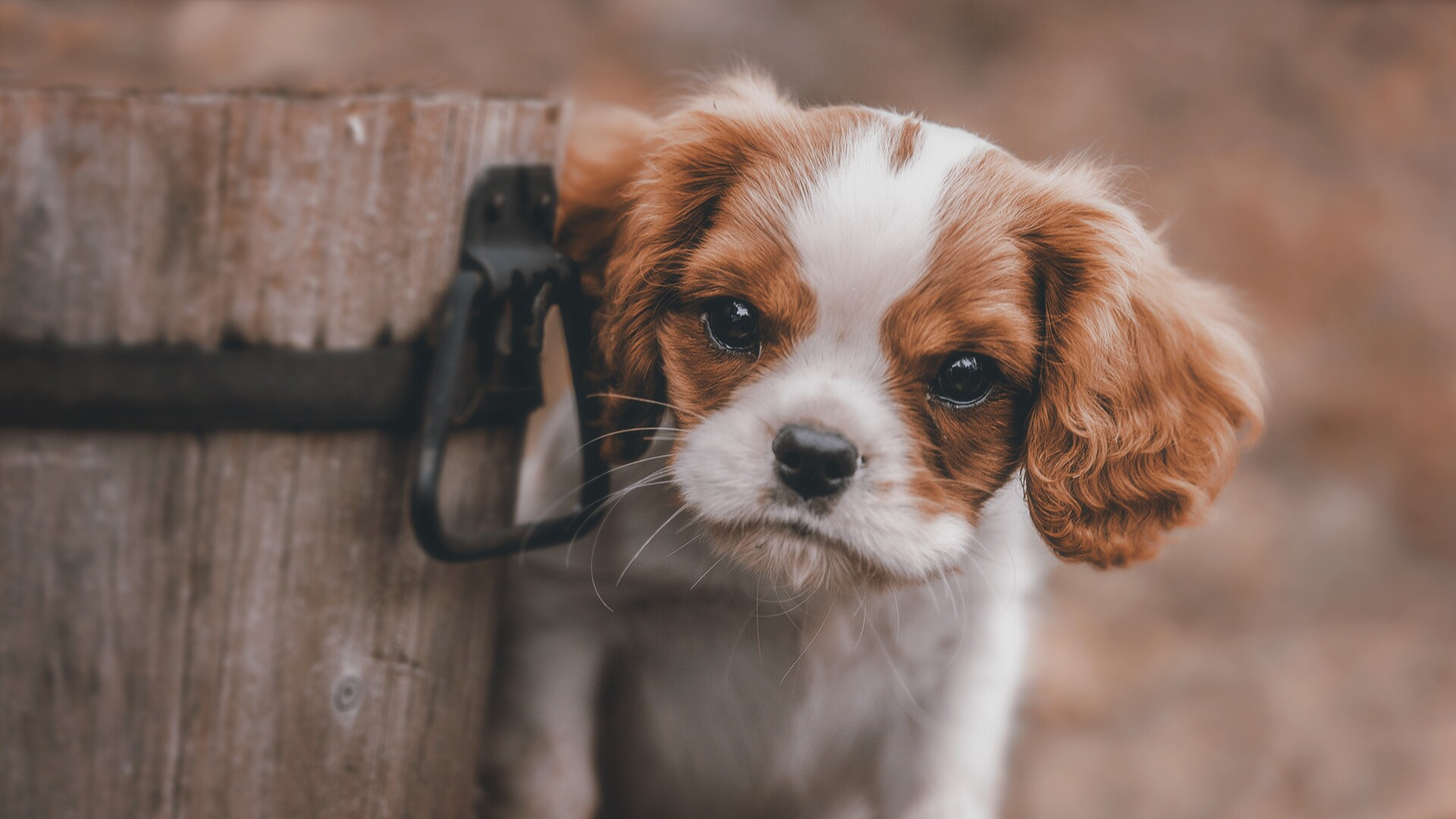 Dogs And Puppies Wallpaper 1920x1080 Cute Puppy L...
