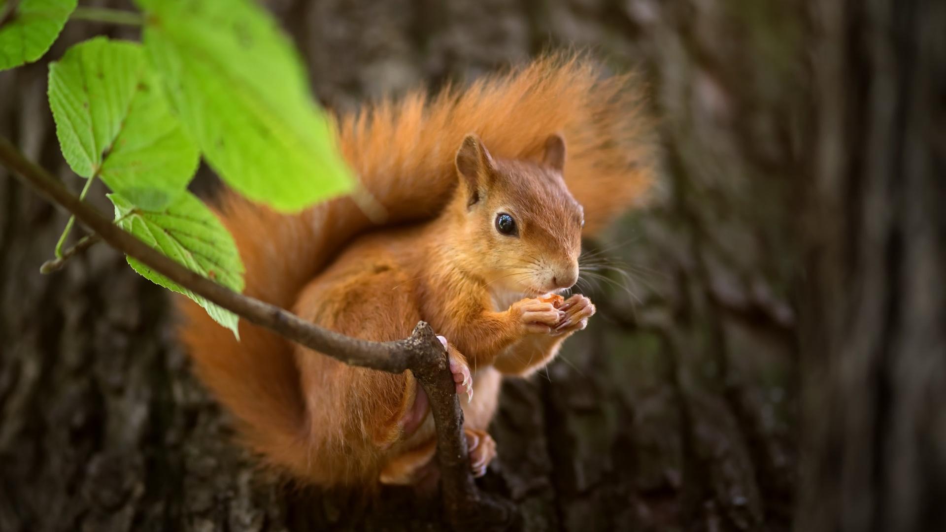 1920x1080 Cute Squirrel Laptop Full HD 1080P HD 4k ... |Indian Squirrel Wallpaper