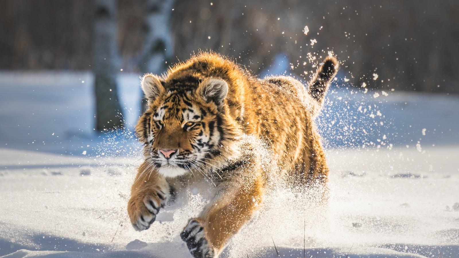 1600x900 Cute Tiger Cub Running ...
