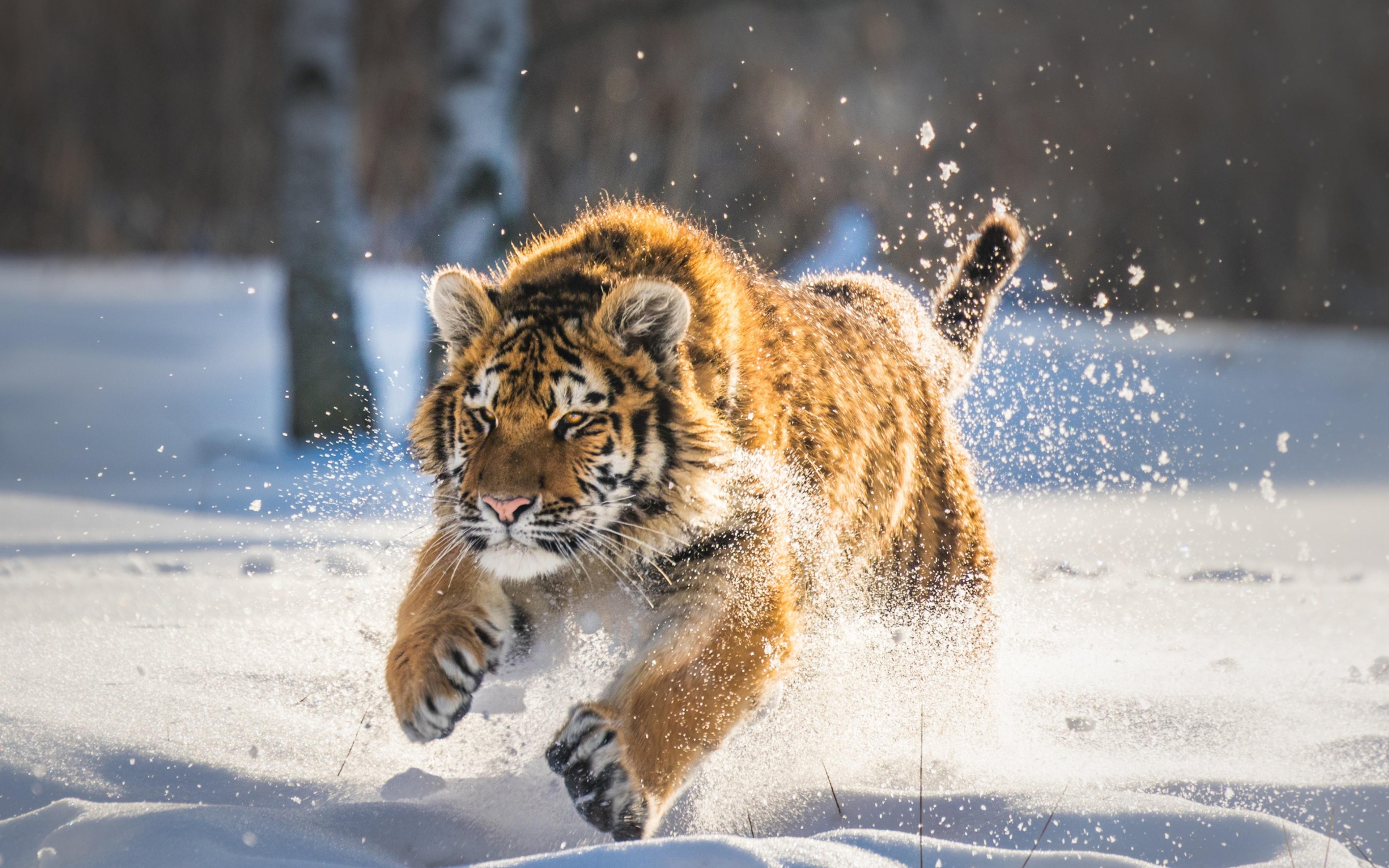 cute-tiger-cub-running-oq.jpg