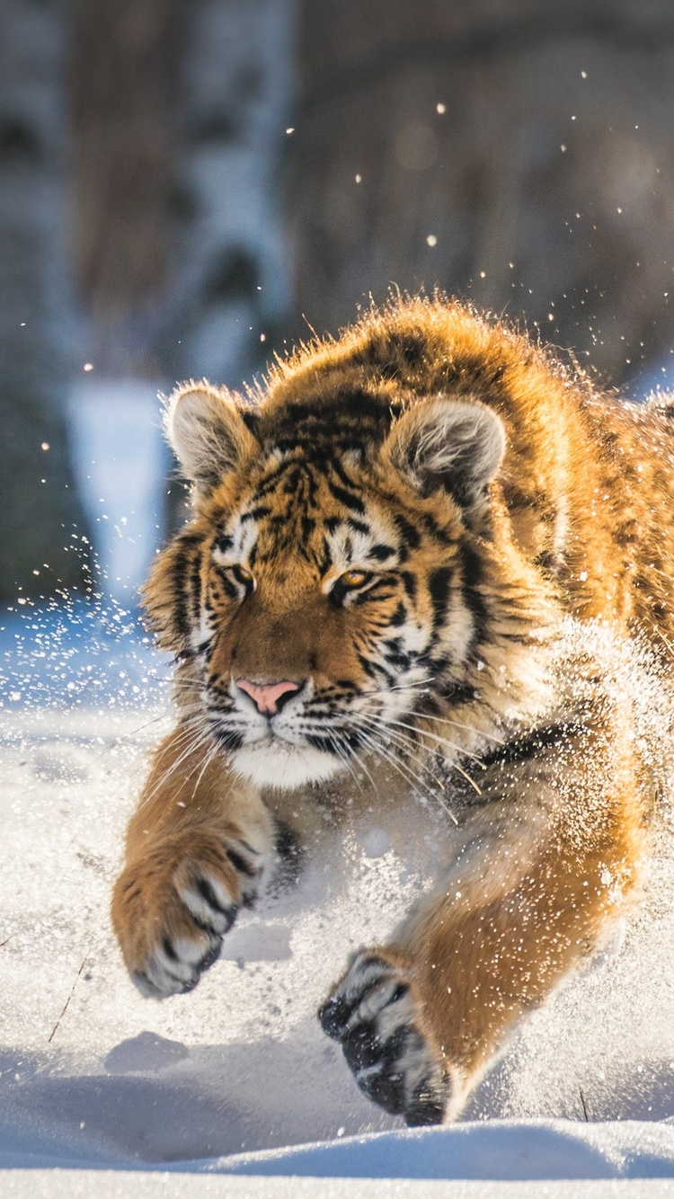750x1334 Cute Tiger Cub Running Iphone 6 Iphone 6s Iphone