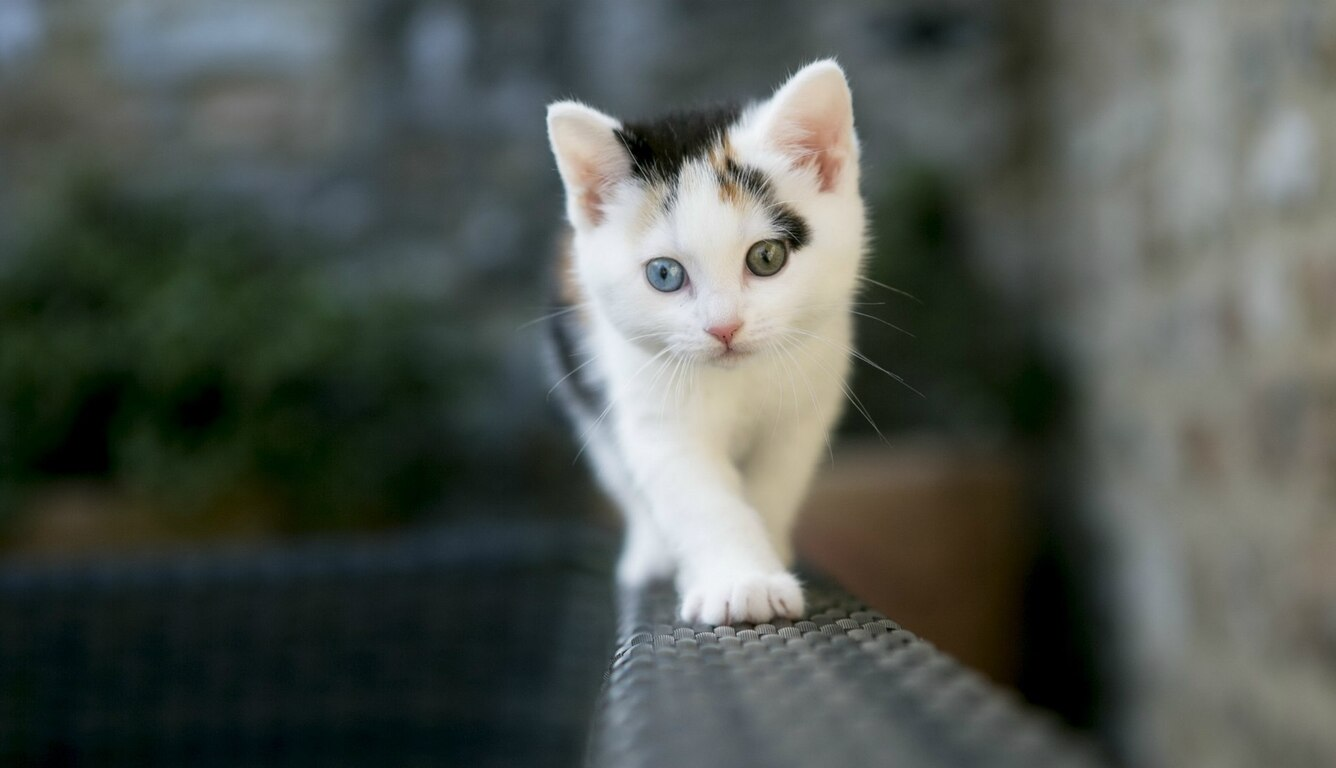 1336x768 Cute White Cat Laptop Hd Hd 4k Wallpapers Images Backgrounds Photos And Pictures