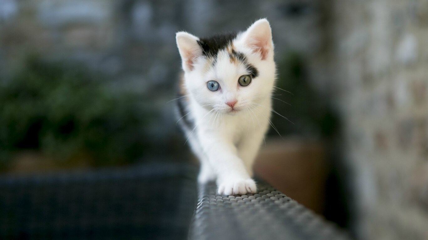 1366x768 cute white cat 1366x768 resolution hd 4k wallpapers images