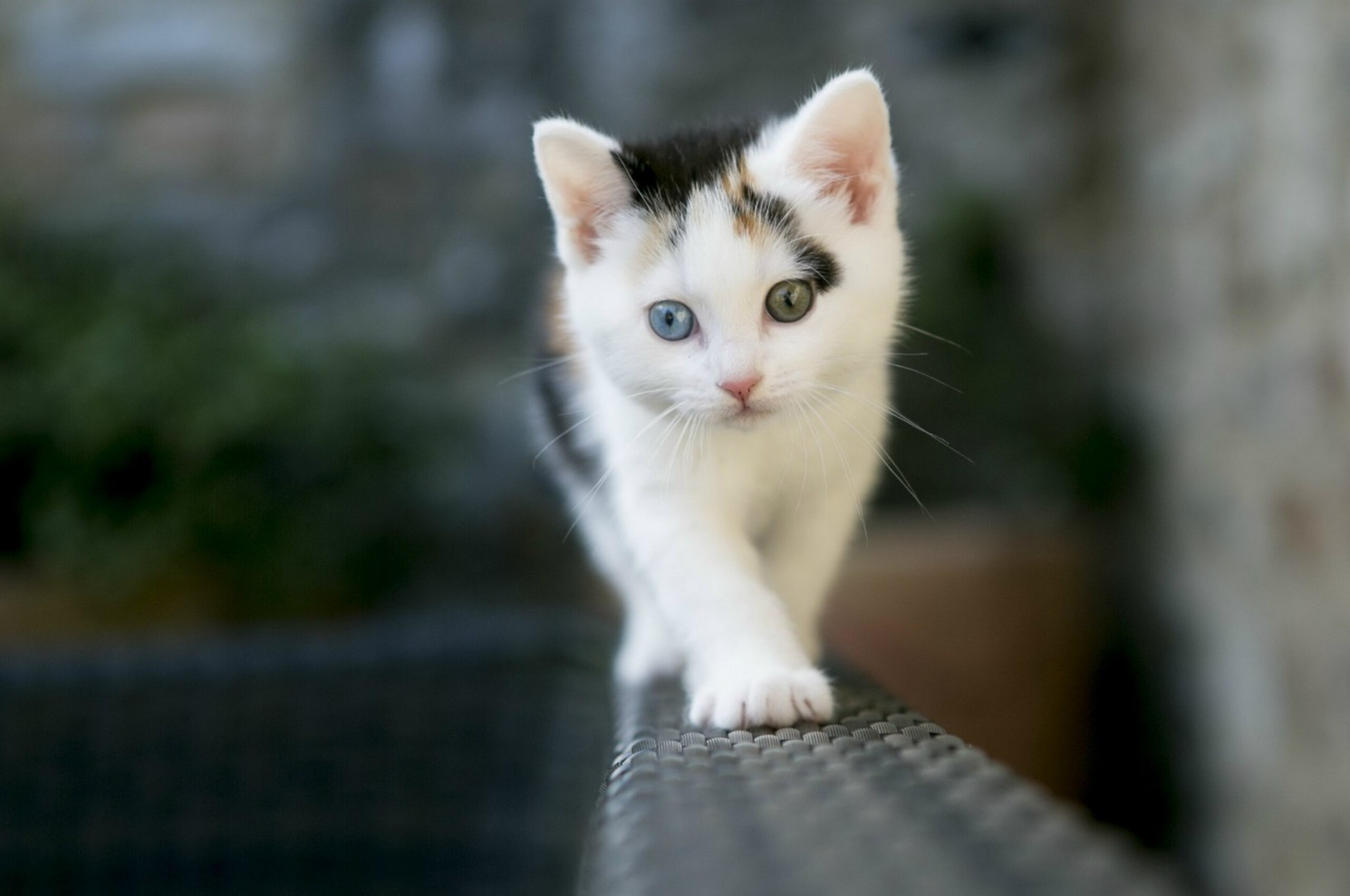 2560x1700 Cute White Cat Chromebook Pixel Hd 4k Wallpapers Images