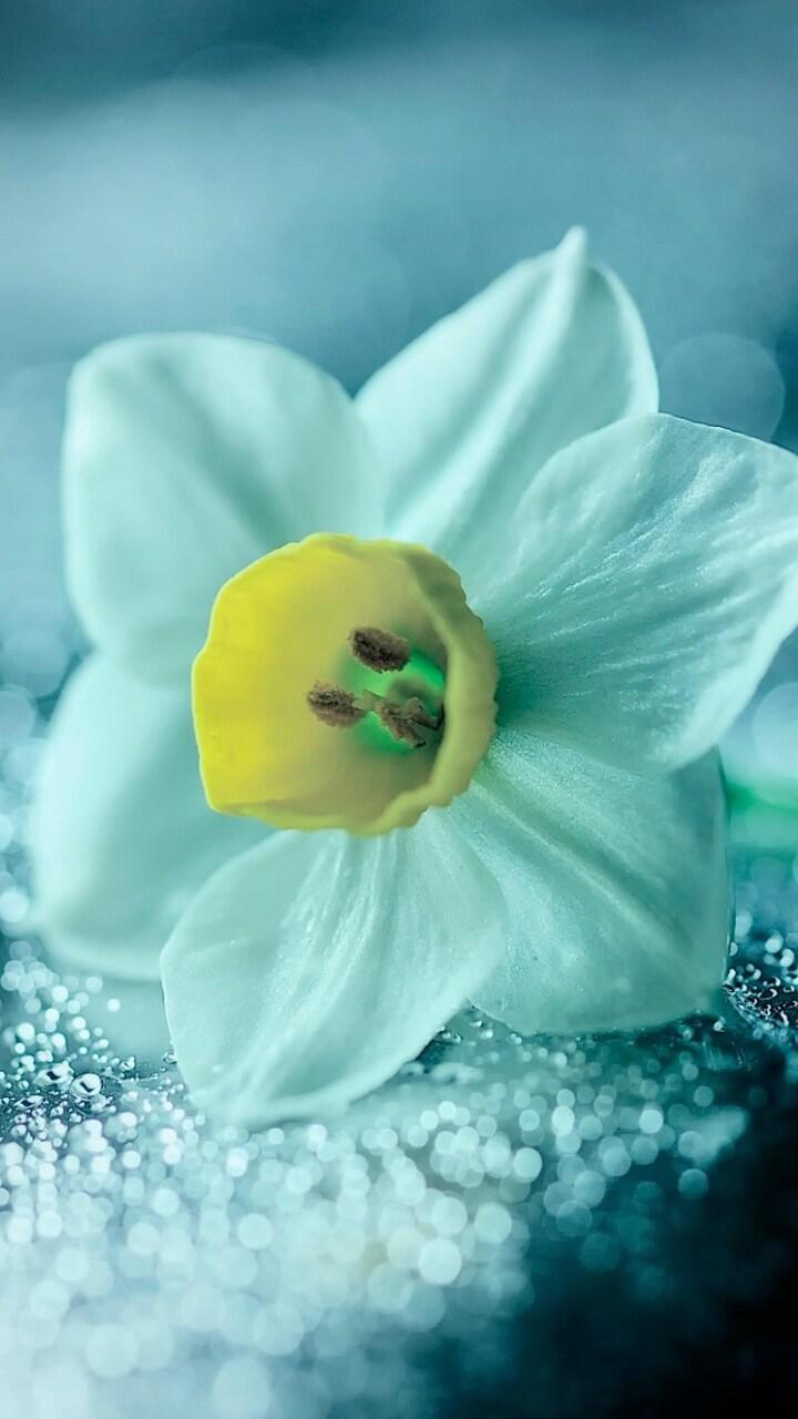 daffodil-flower-petals-drops.jpg