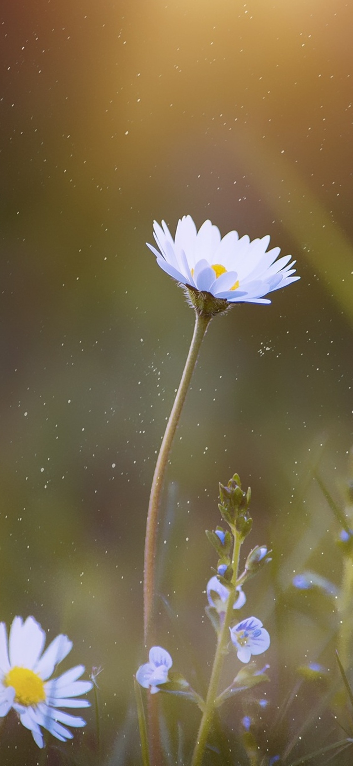 1125x2436 Daisy Blossom Flower Iphone Xs Iphone 10 Iphone X Hd 4k
