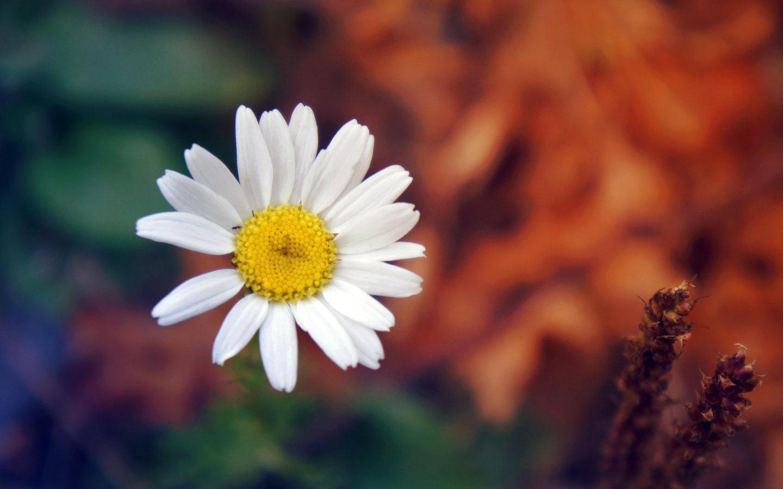daisy-flower-petals-close-up.jpg