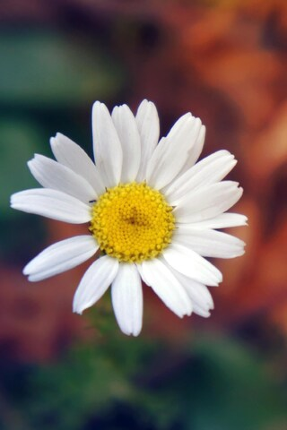 daisy-flower-petals-close-up.jpg