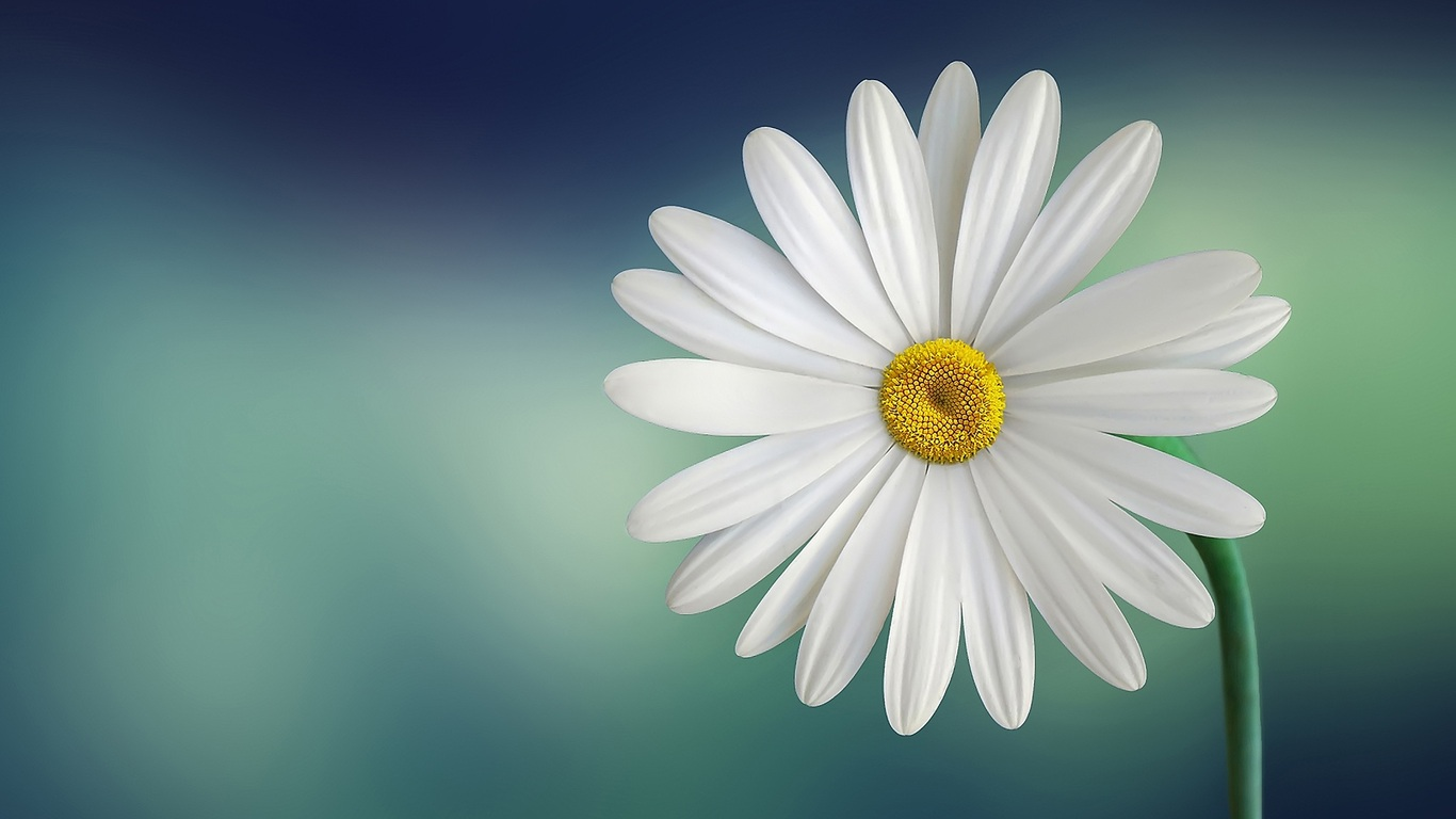 1366x768 Daisy 1366x768 Resolution Hd 4k Wallpapers Images