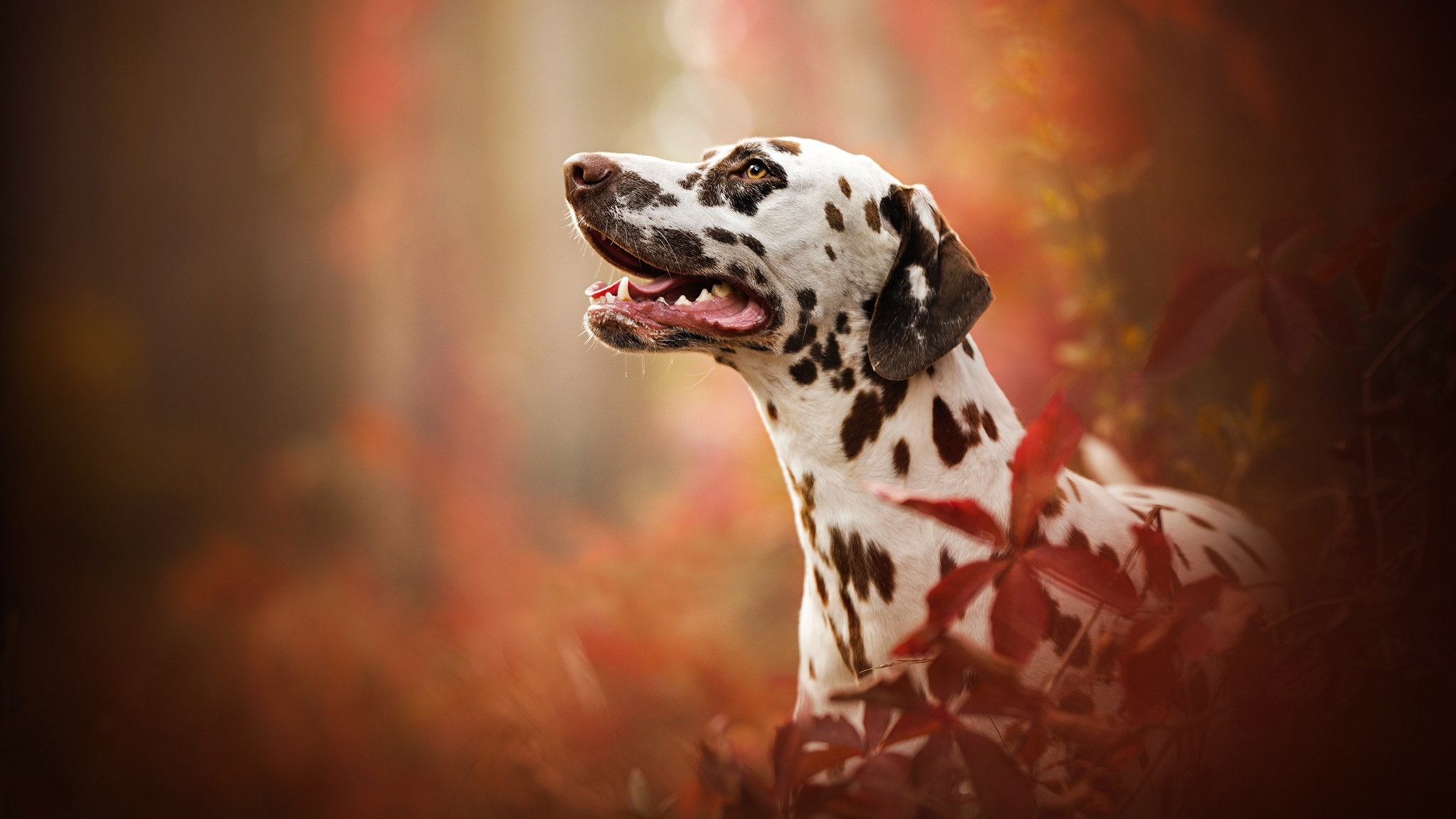 Dalmatian Breed Dog Yc