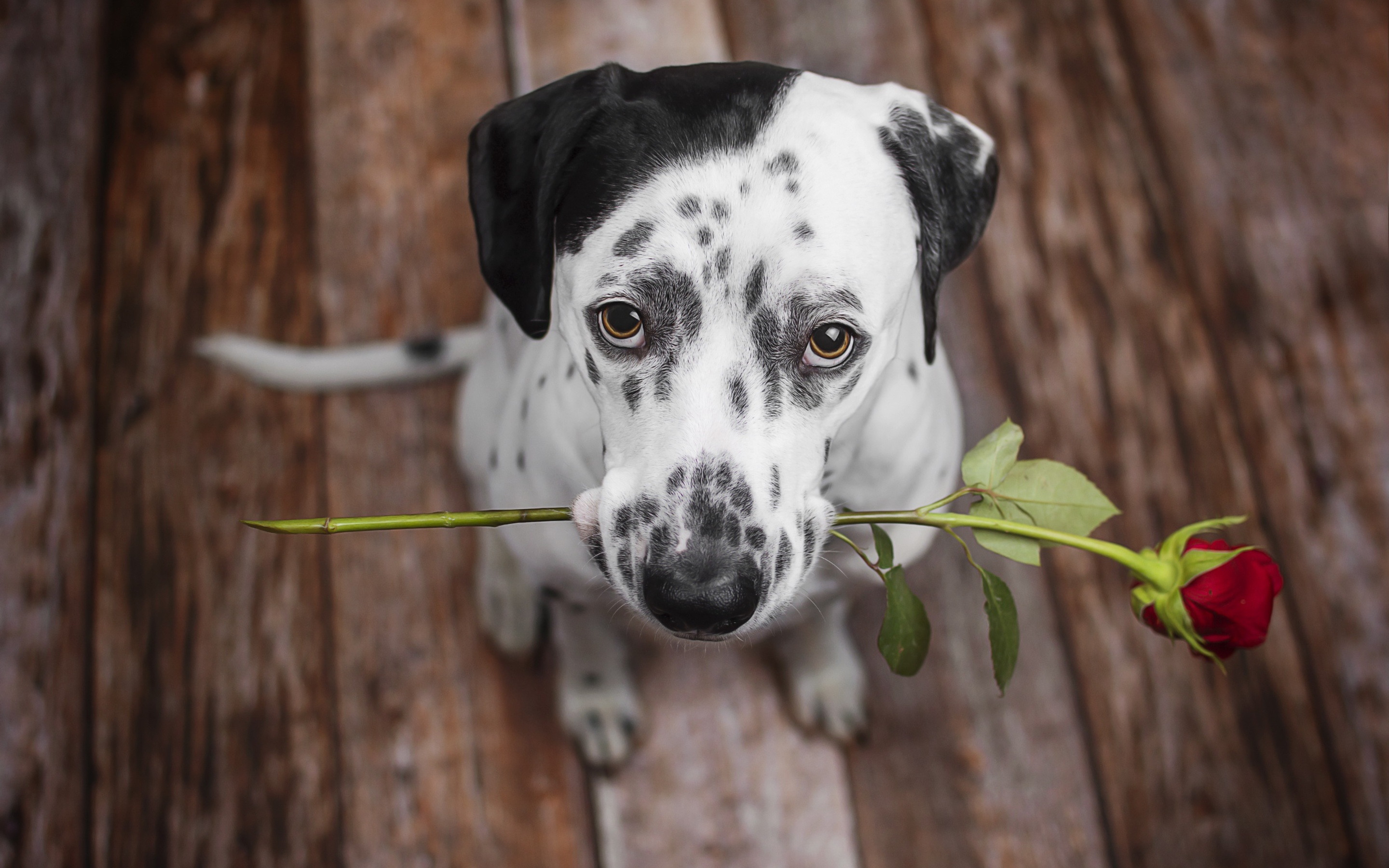 Wonderful Wallpaper Macbook Dog - dalmatian-dog-holding-red-flower-in-the-mouth-uh-2880x1800  2018_74657.jpg
