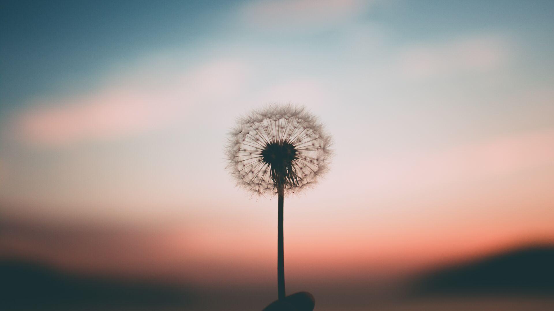 dandelion-4k-84.jpg