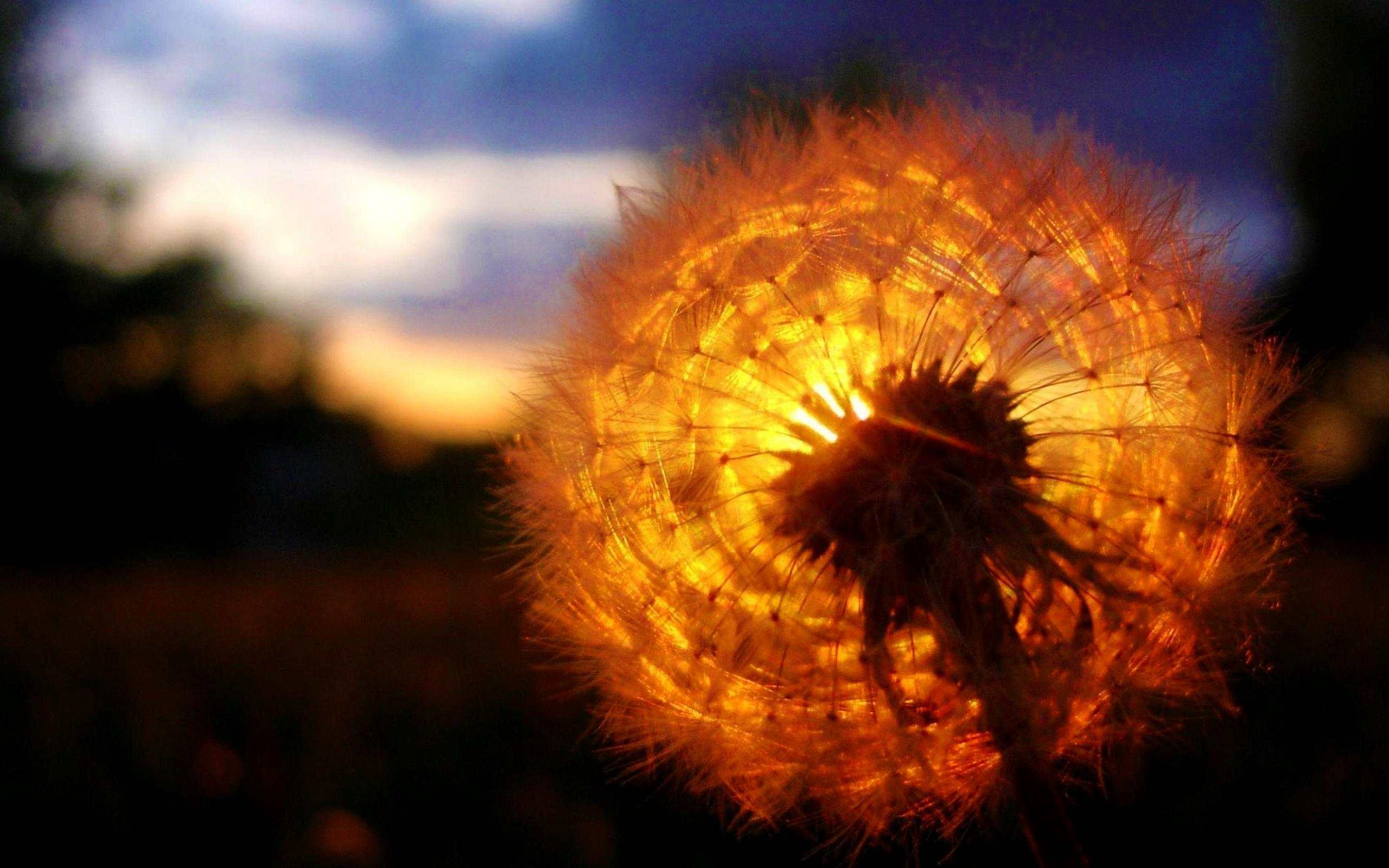 одуванчик солнечный свет загрузить