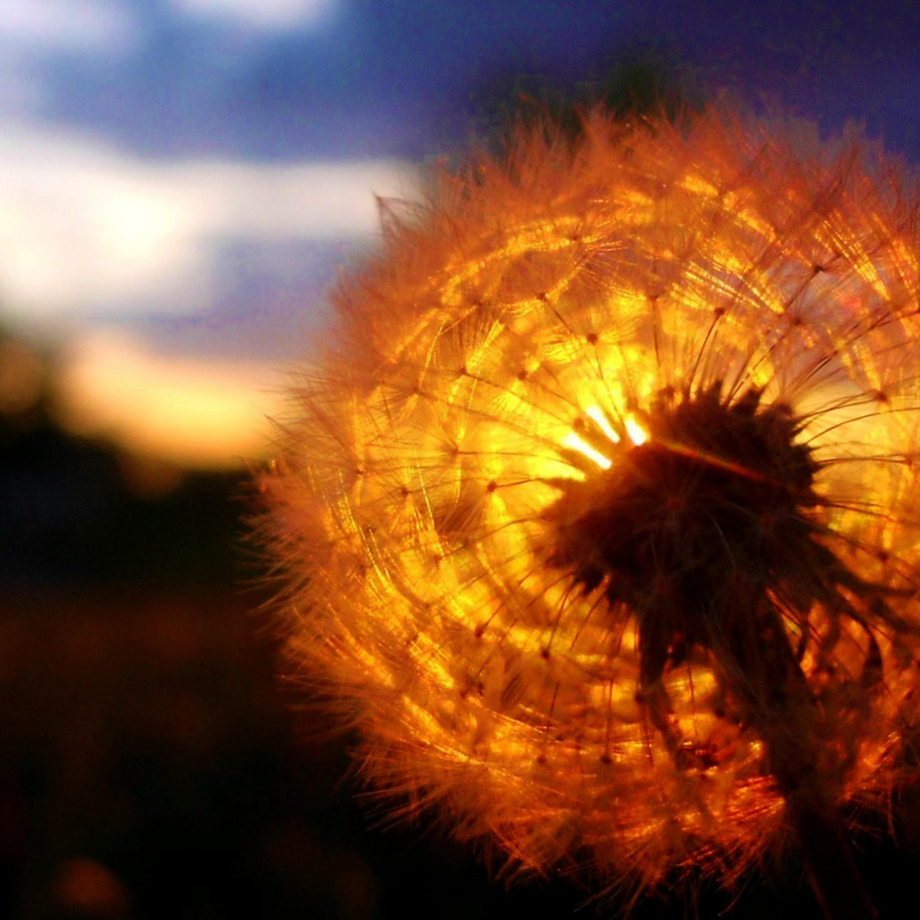 dandelion-amazing-sunset.jpg
