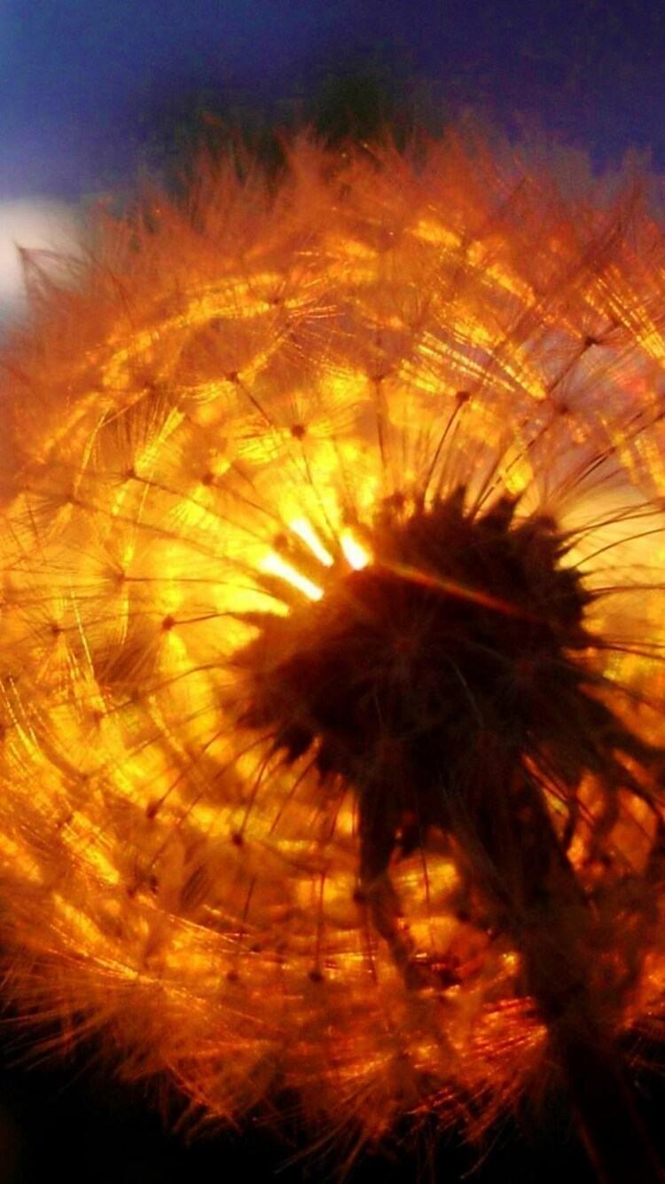 dandelion-amazing-sunset.jpg