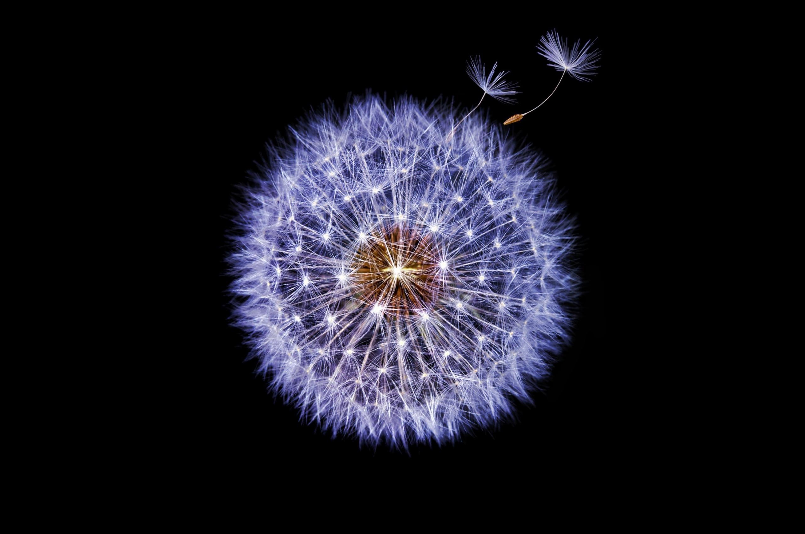 dandelion-dark-background-qf.jpg