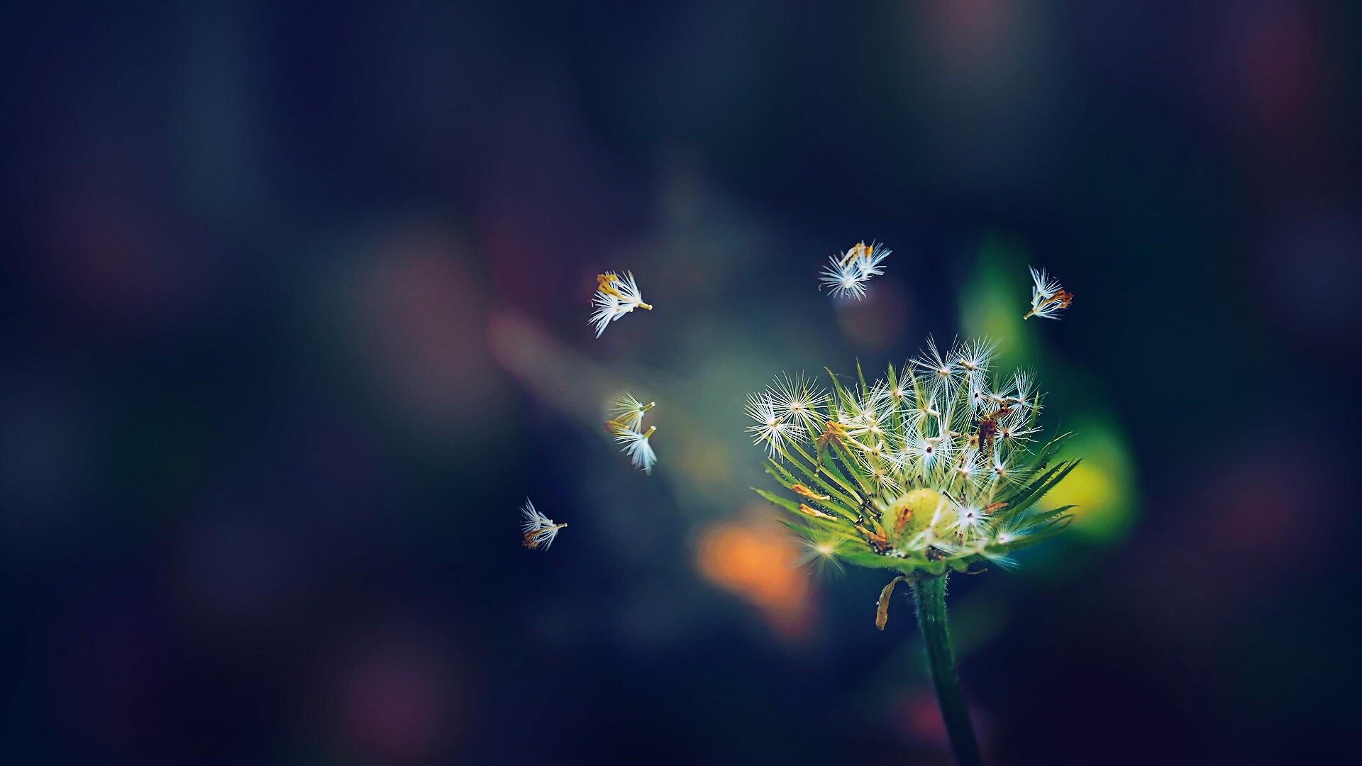 1920x1080 dandelion flies flowers laptop full hd 1080p hd - Dandelion hd wallpapers 1080p ...