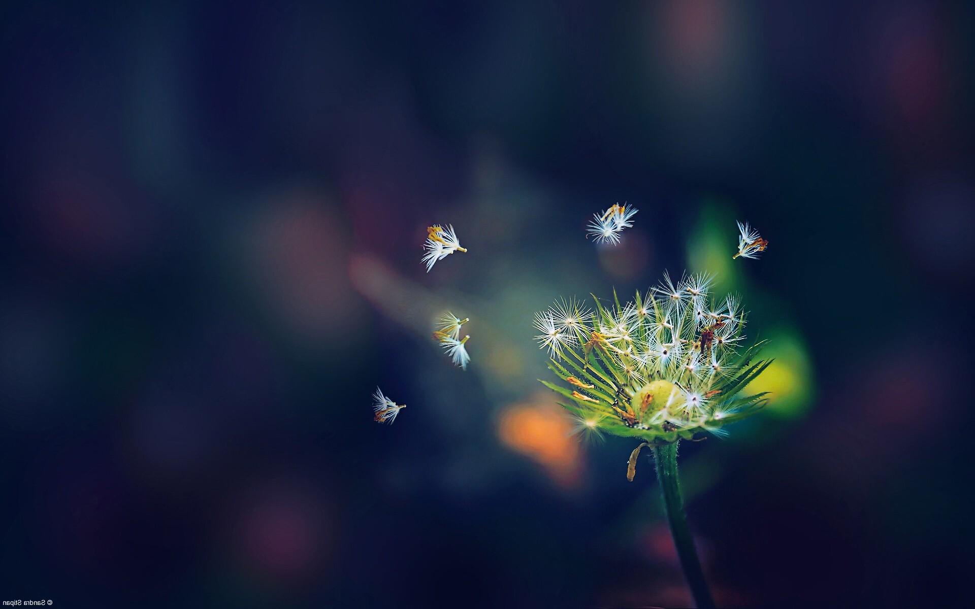 1920x1200 dandelion flies flowers 1080p resolution hd 4k - Dandelion hd wallpapers 1080p ...