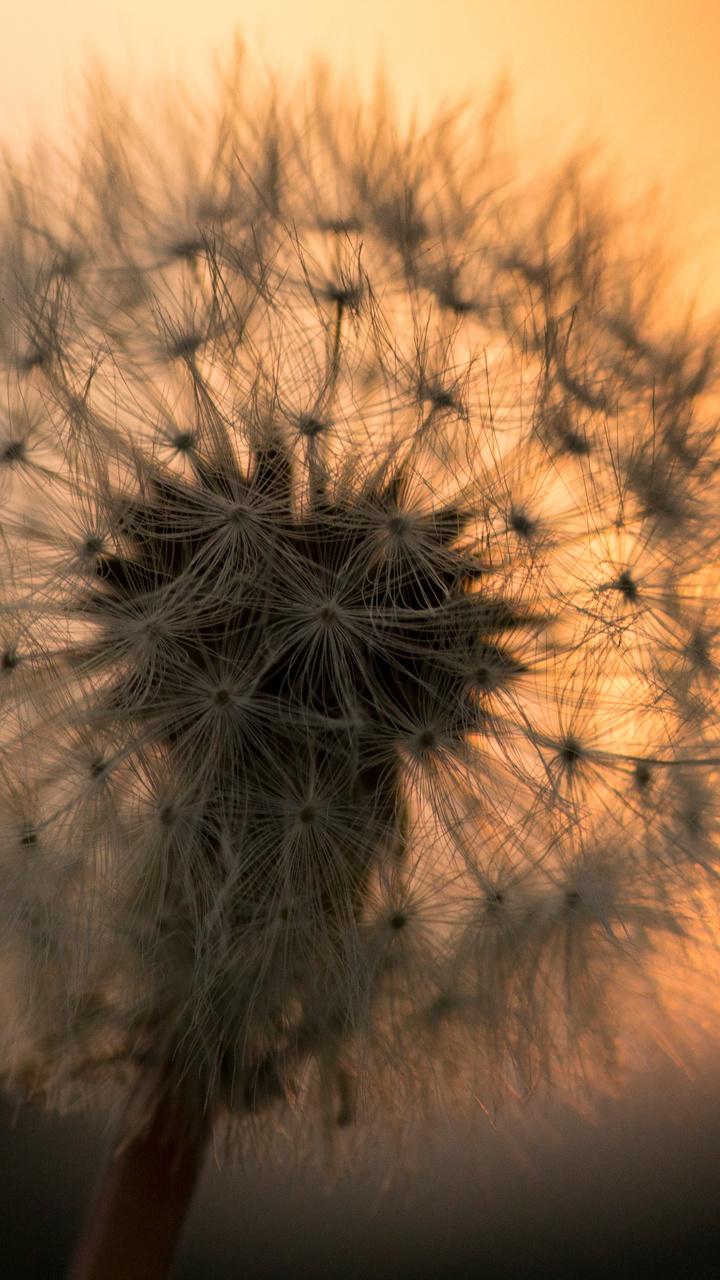 dandelion-flower-5k-macro-6e.jpg
