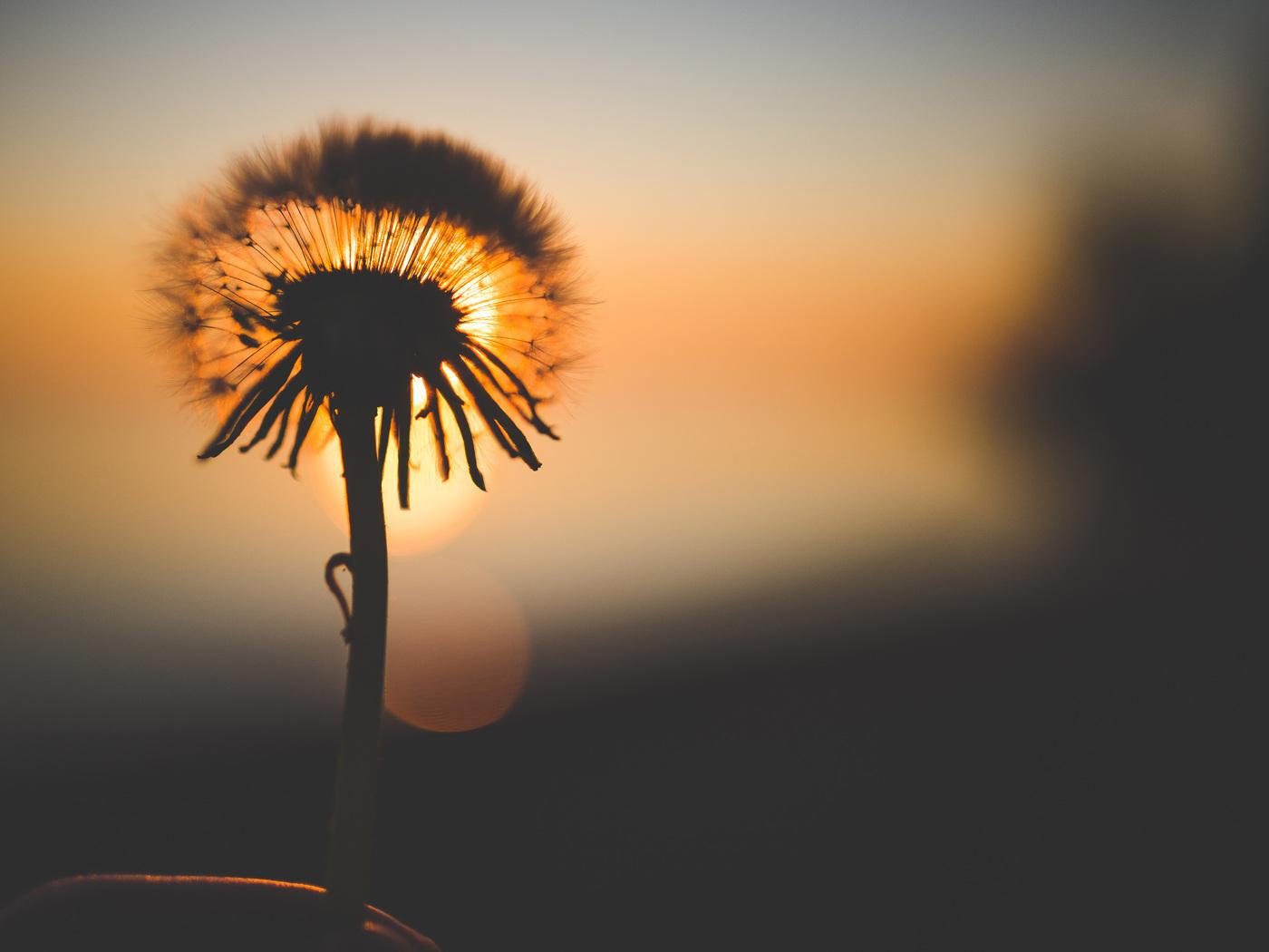 dandelion-flower-behind-sun-nq.jpg