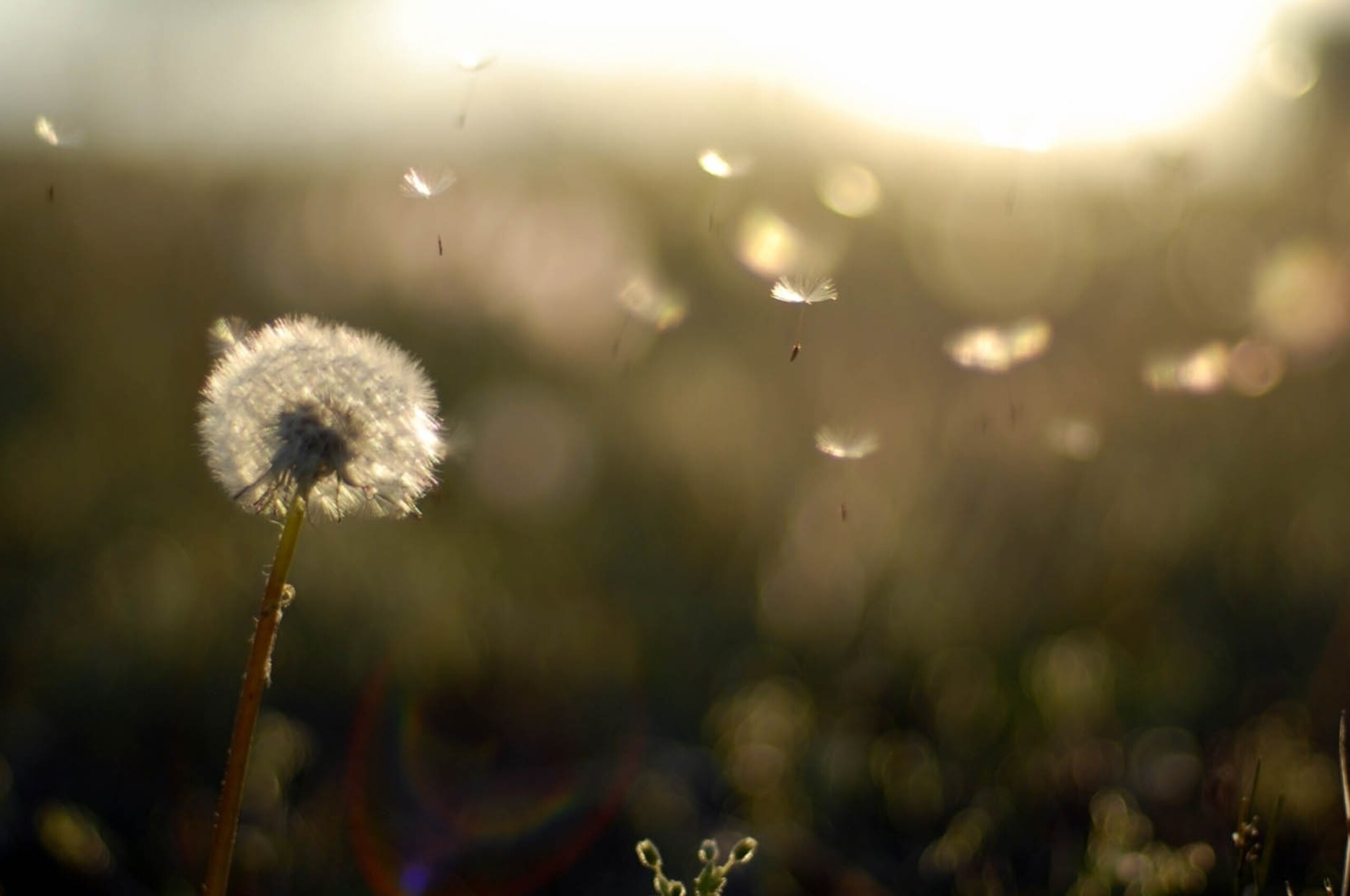 2560x1700 dandelion flower chromebook pixel hd 4k wallpapers, images