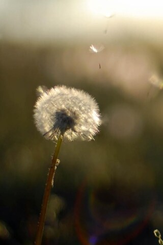 dandelion-flower-wide.jpg