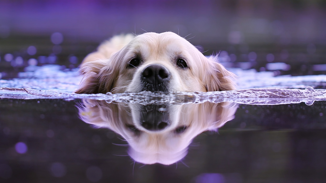 1366x768 Dog Swimming 1366x768 Resolution Hd 4k Wallpapers Images Backgrounds Photos And Pictures