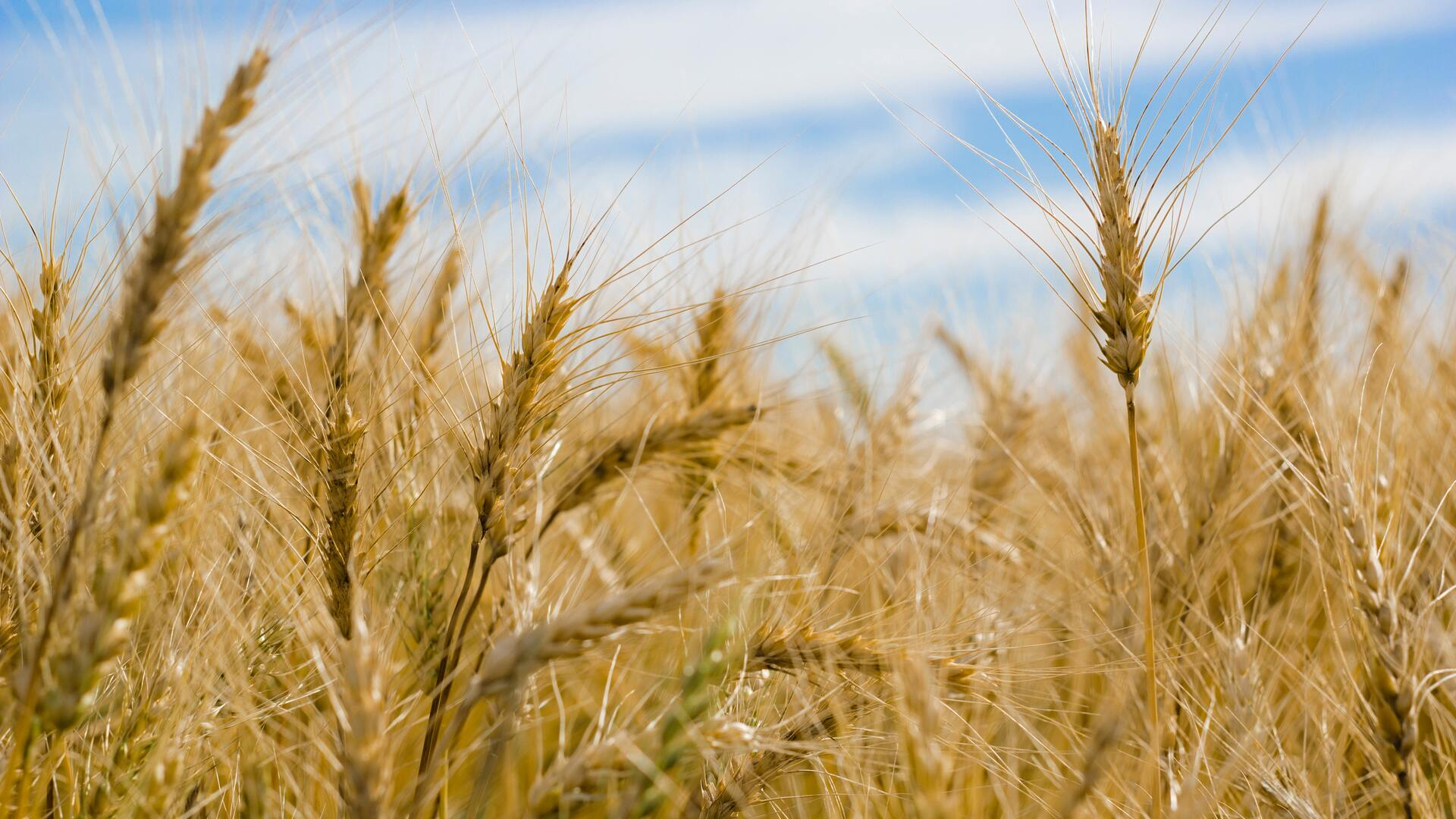 dry-wheat-farm-qm.jpg