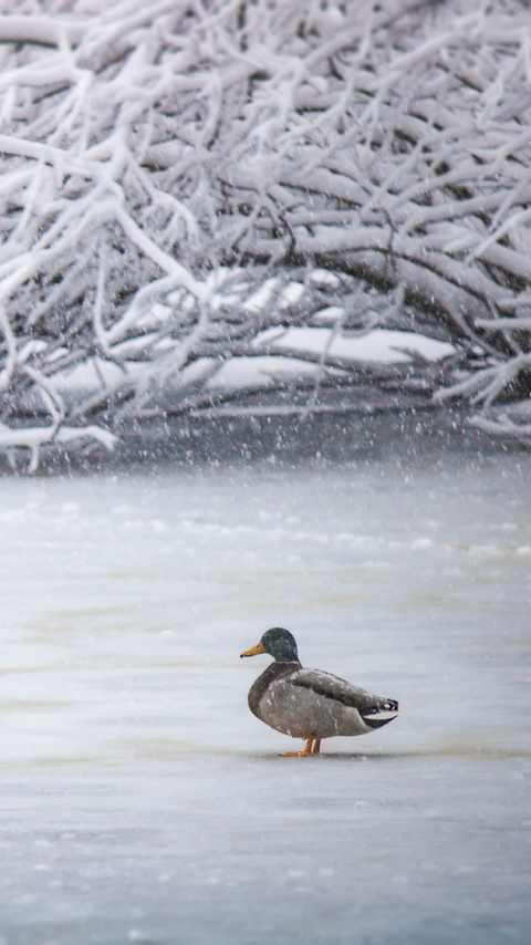 duck-in-winter-5k-99.jpg