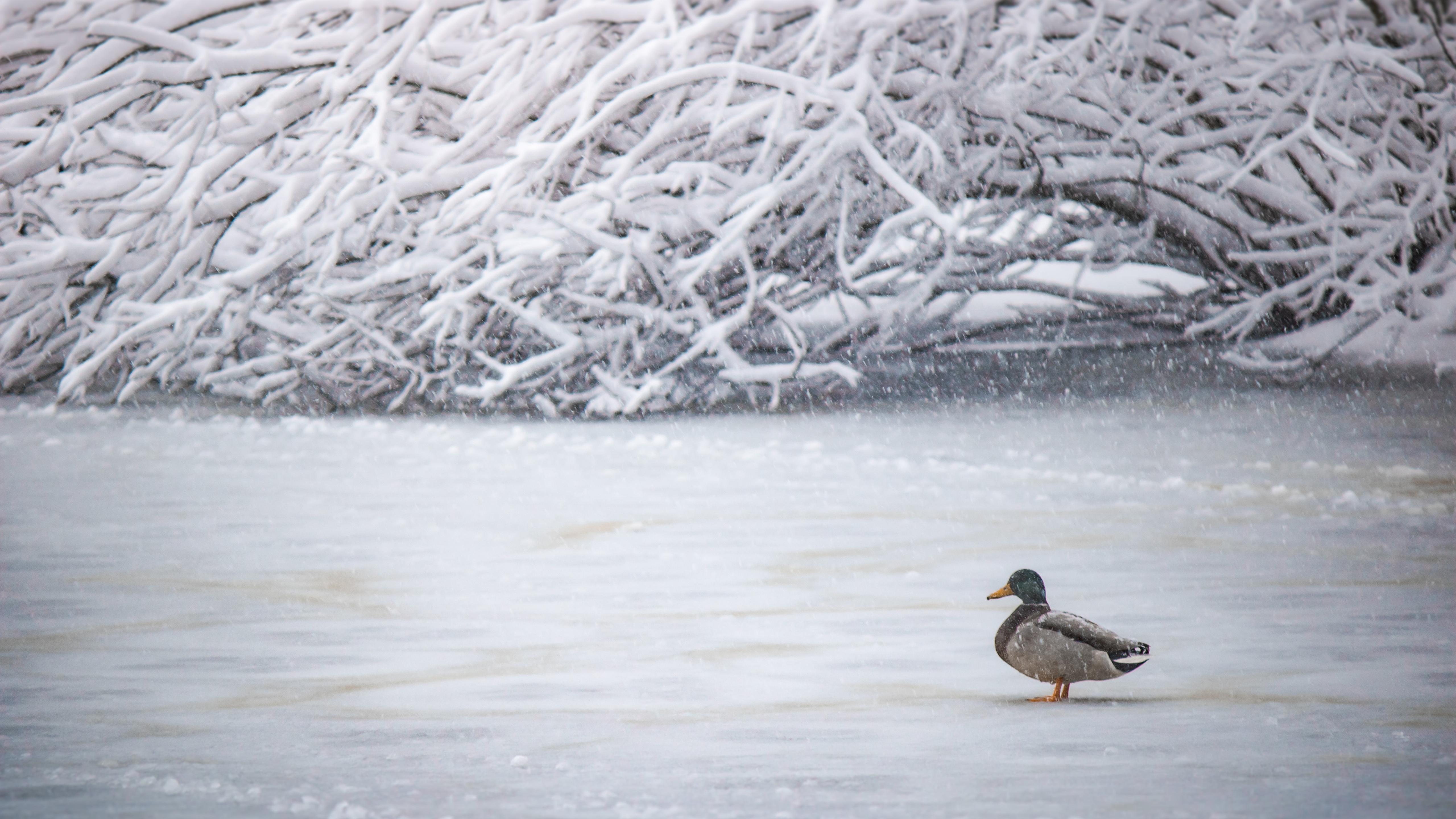 duck-in-winter-5k-99.jpg