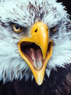 eagle-beak-tongue-open-4k-sb.jpg