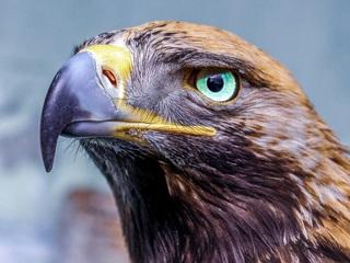 eagle-glowing-eye-4k-bi.jpg