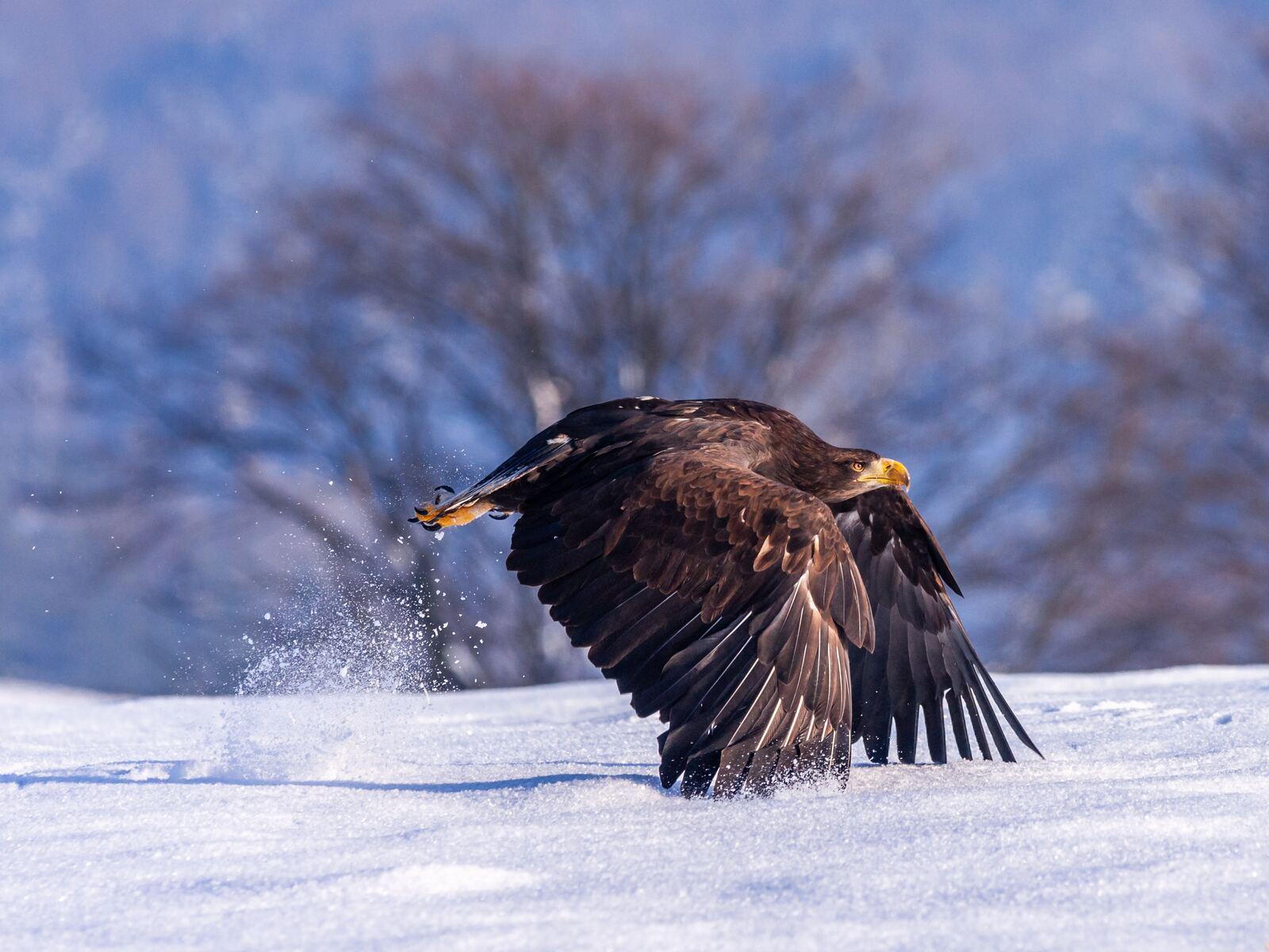 eagle-in-snow-4k-6u.jpg