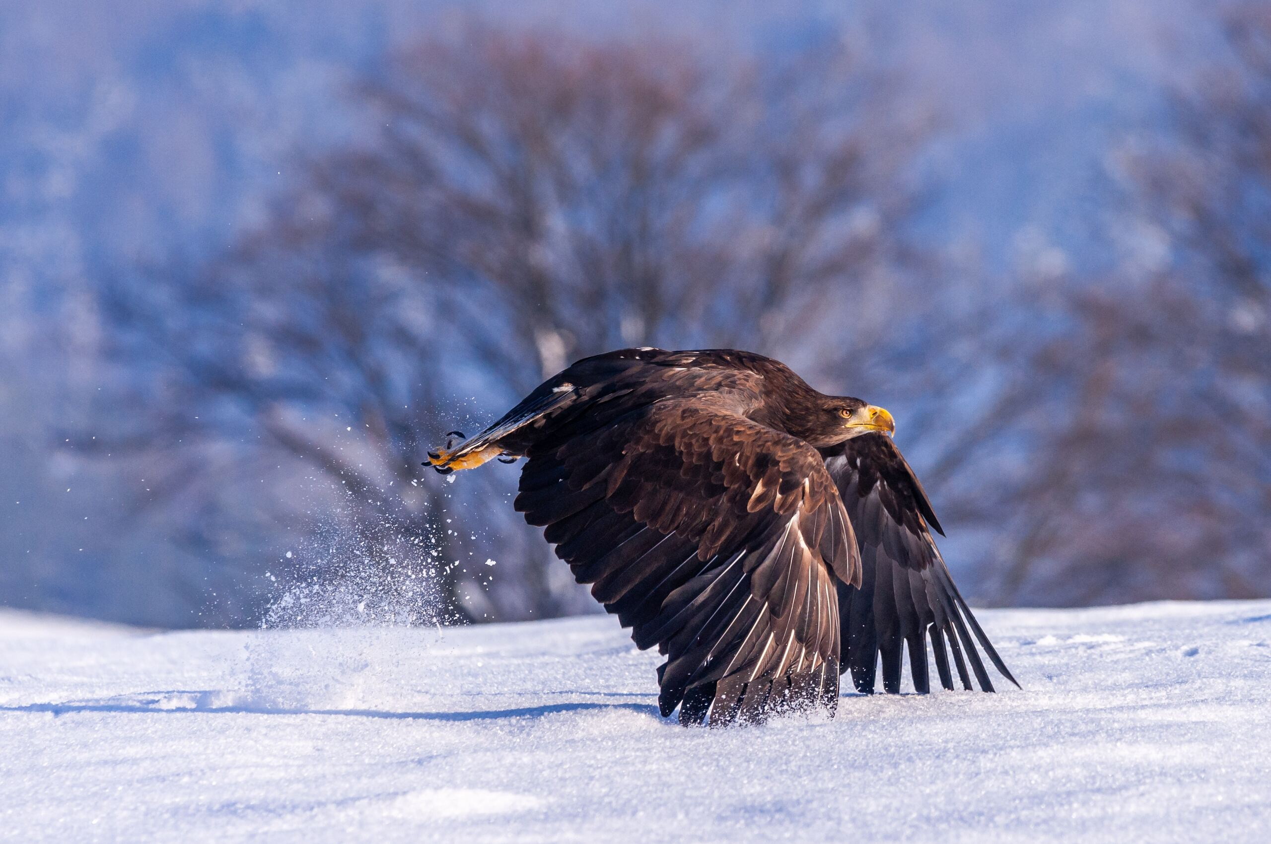 eagle-in-snow-4k-6u.jpg