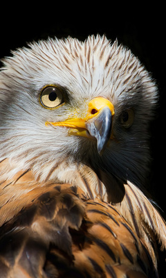 eagle-red-kite-black-beak-4k-9y.jpg