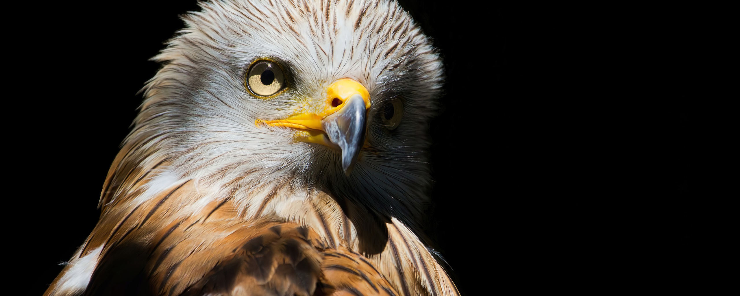 eagle-red-kite-black-beak-4k-9y.jpg