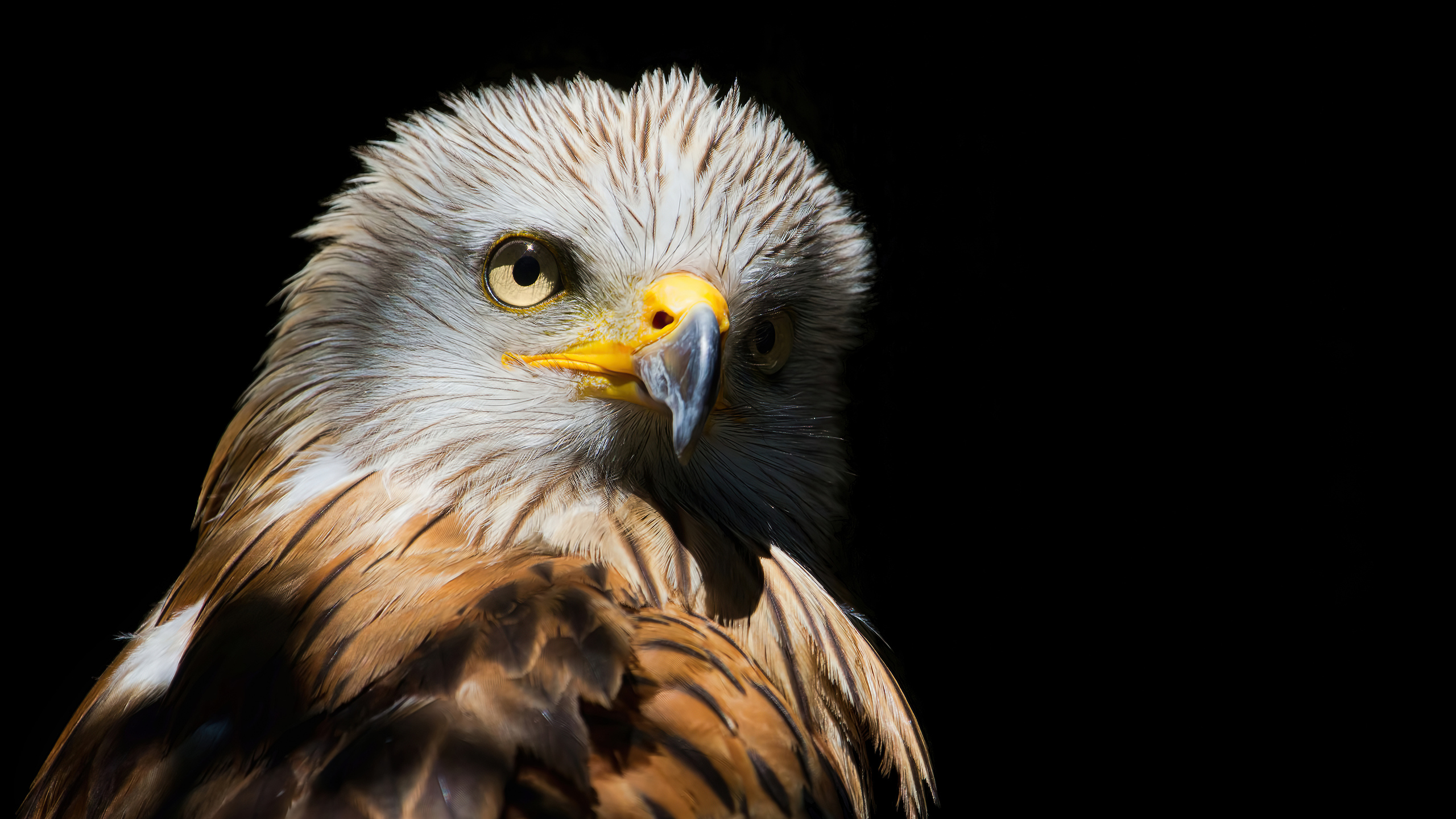 2560x1440 Eagle Red Kite Black Beak 4k 1440p Resolution Hd 4k Wallpapers Images Backgrounds Photos And Pictures