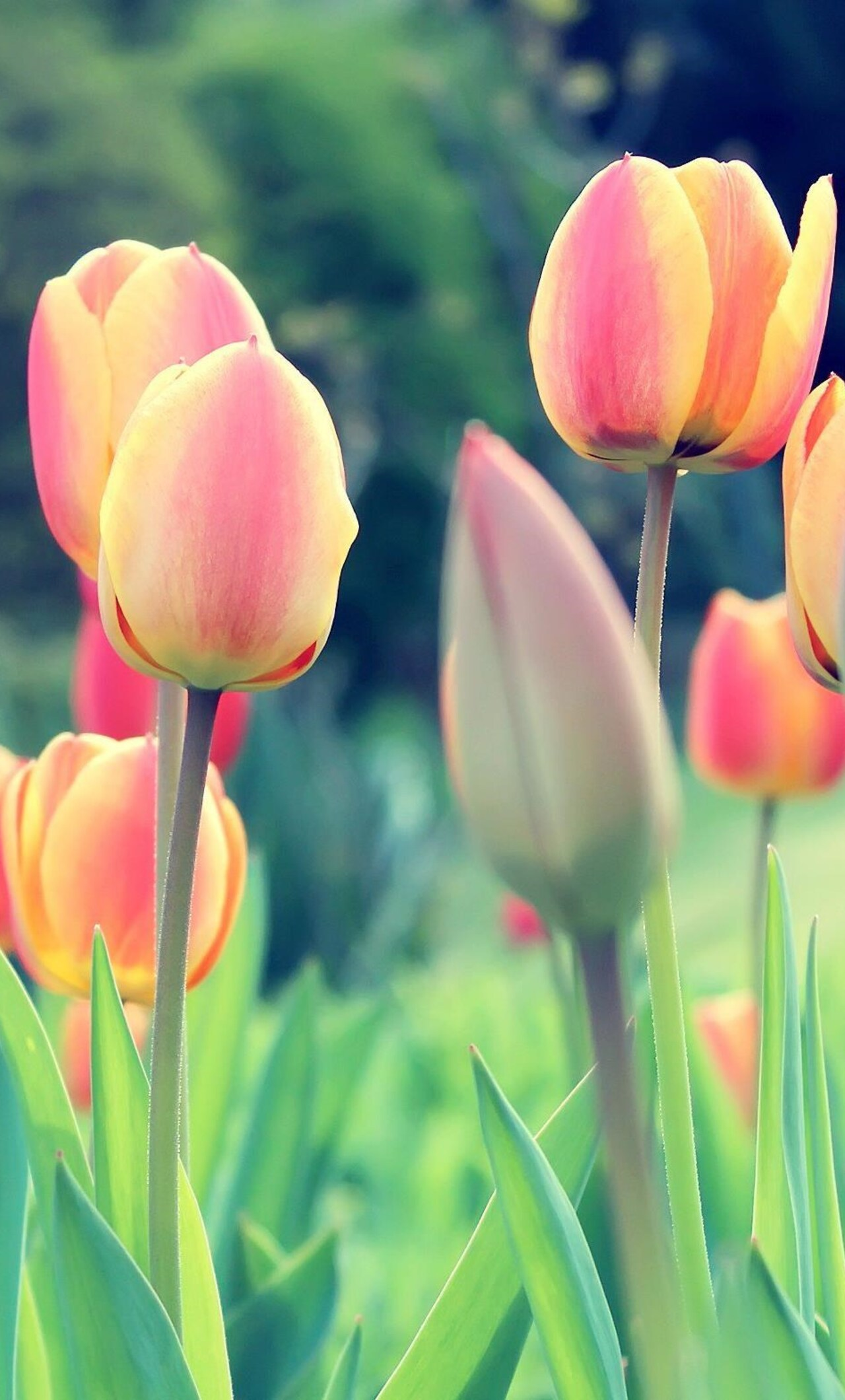 how to download pictures from my iphone to my computer 1280x2120 easter tulips iphone 6 hd 4k wallpapers images 2917