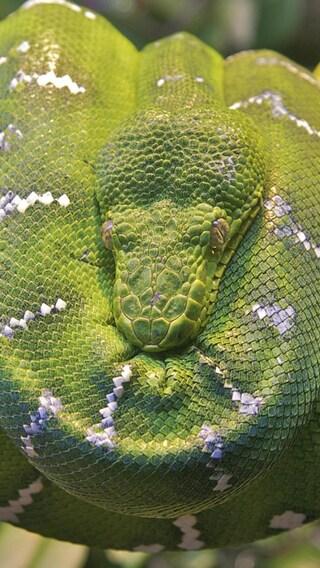 emerald-tree-boa-snake.jpg