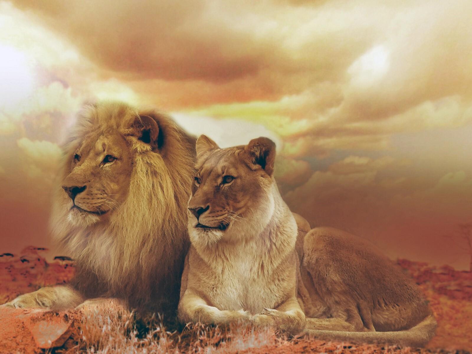 female-male-lions.jpg